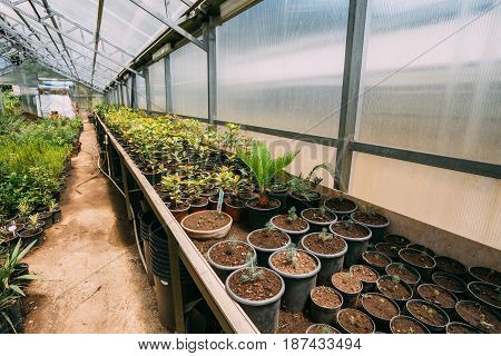 Green Sprouts Of Plants And Trees Growing From Soil In Pots In Greenhouse Or Hothouse. Spring, Concept Of New Life.