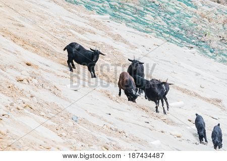 Small herd of black goats on a rocky hillside