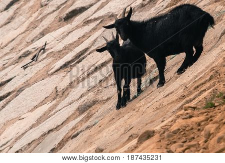 Two adult black goats on rocky hillside pose for camera