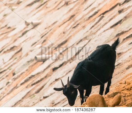 Young adult black goat on rocky hillside poses for camera
