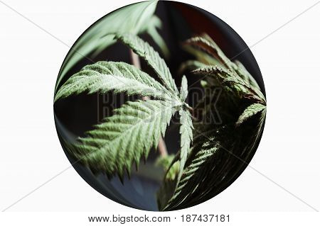 Marijuana Leaf In Sphere High Quality Stock Photo