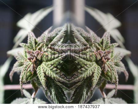 Marijuana Warrior Close Up High Quality Stock Photo