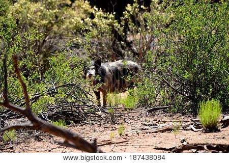 Wild feral hog in the forest mountains
