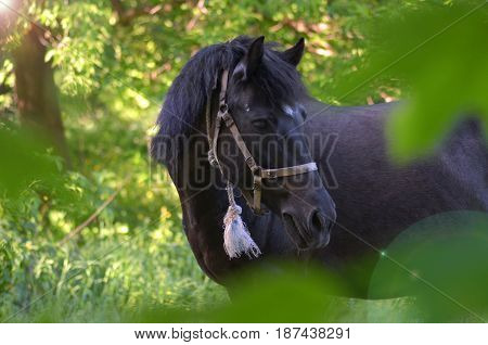 Black horse on nature grazing green forest