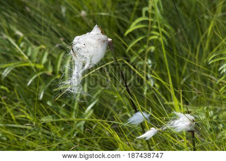 Parachute flower with green reeds in wetland