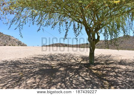 A mesquite tree with a desert landscape