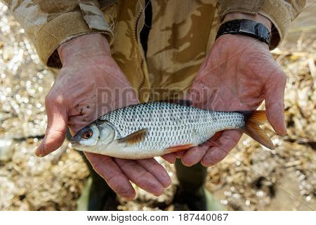 Man is holding roach fish