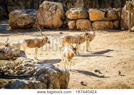 JERUSALEM ISRAEL - MAY 8: The Addax White antelope or screwhorn antelope in Biblical Zoo in Jerusalem Israel on January 23 2017