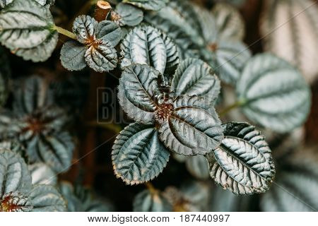 Green Leaves Of Plant Pilea Involucrata, Is A Plant Which Is Sometimes Cultivated, Especially Where High Humidity Can Be Provided, Such As In A Terrarium. It Is Native To Central And South America.