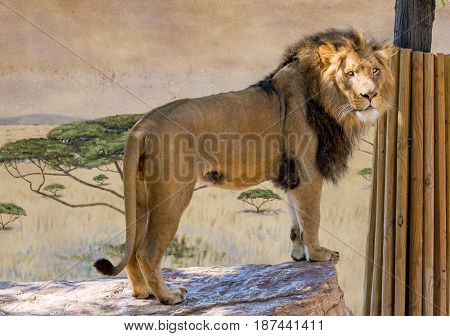 Large male lion looking to the right in a zoo