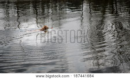 Dog swimming in water chasing a red ball