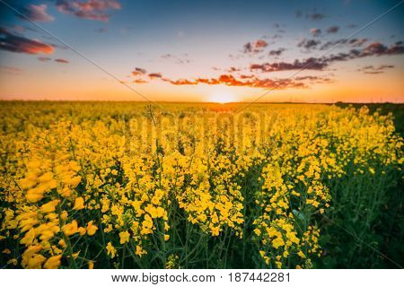 Close Up Of Flowering Blooming Rape, Rapeseed, Oilseed In Field Meadow At Sunset Sunrise Sky In Spring Season. Blossom Of Canola Yellow Flowers Under Dramatic Dawn Sky. Beautiful Rural Landscape