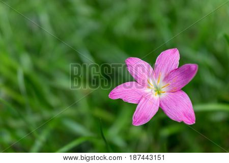 Close up of rosy pink rain lily Cuban zephyrlily or Zephyranthes rosea with beautiful green background.
