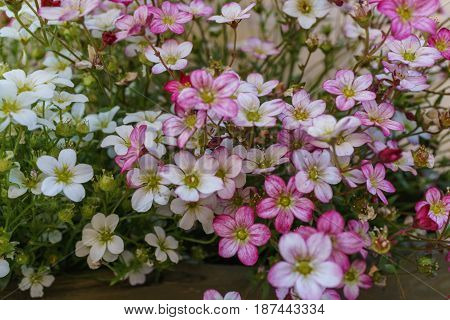 Selective focus on pink magenta and white Rockfoil and Mossy flower in small garden.