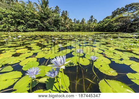 Off to the side of Punalu'u black sand beach is a beautiful pond covered with green aquatic plants and beautiful purple flowers.