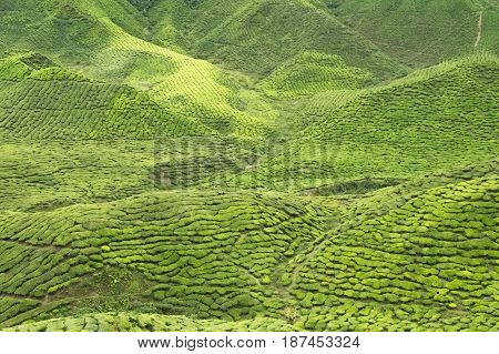 Green Cameron Highlands covered by tea plantations