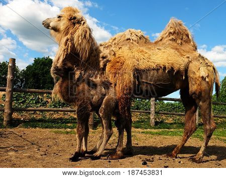 Mother camel with baby, outdoor, summer time. Family life.