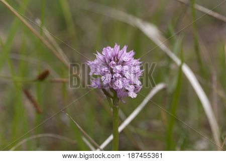 Flower of a three-toothed orchid (Neotinea tridentata) a wild orchid in Europe.