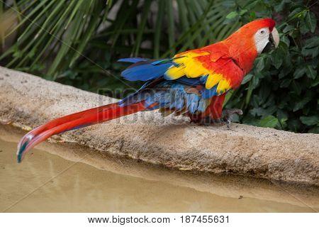 Scarlet macaw (Ara macao). Wildlife animal.