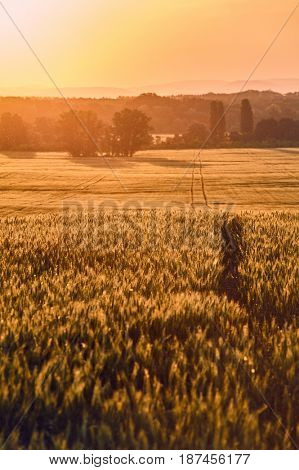 Wheat plants on an agricultural field in sunset flare