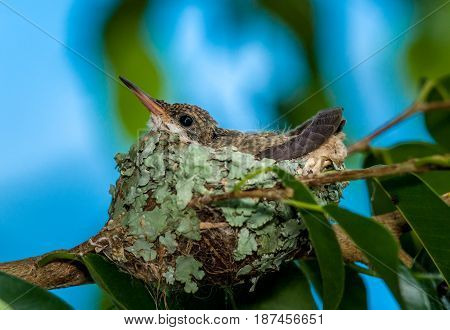 Single baby hummingbird still in the nest
