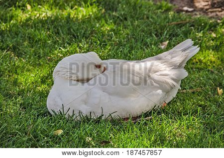 Domestic goose staying cool in the shade on the grass