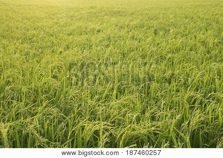rice green filed for nature background,young paddy