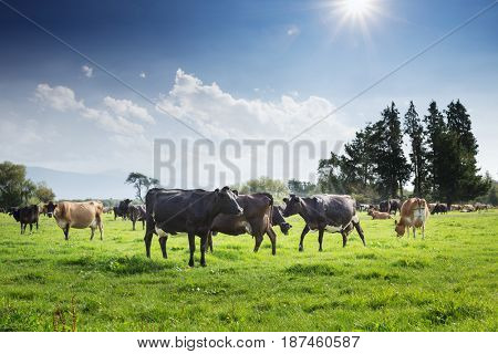 beefs on new zealand pasture in sunny day