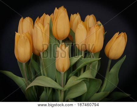 A bunch peach colored tulips purchased from the florist are ready to be given and received with joy.