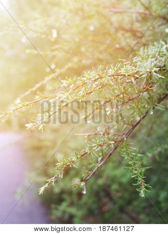 Season nature background concept : Selective soft focus on branch of green leaves with drop of dew in autumn