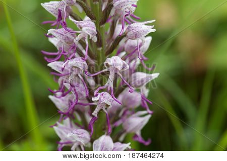 Flower of the Monkey orchid (Orchis simia) a wild orchid in Europe.