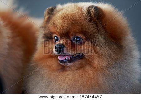 Beautiful Pomeranian dog on a gray background