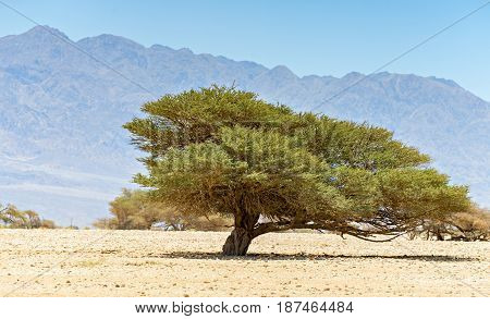 Lonely acacia tree in desert between the border of Israel and Jordan, Middle East