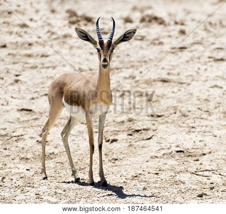 Dorcas gazelle (Gazella dorcas) inhabits desert areas of Africa and Middle East