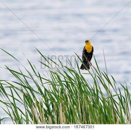 A Yellow Headed Blackbird surveys his kingdom in the wetland.