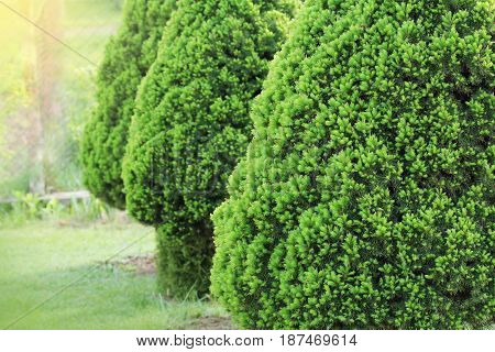 Picea glauca Conica dwarf decorative coniferous evergreen tree. Also known as Canadian, skunk , cat , Black Hills, Alberta white spruce .