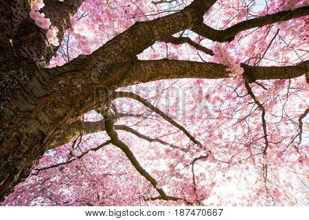 Sakura flowera at sunny spring day
