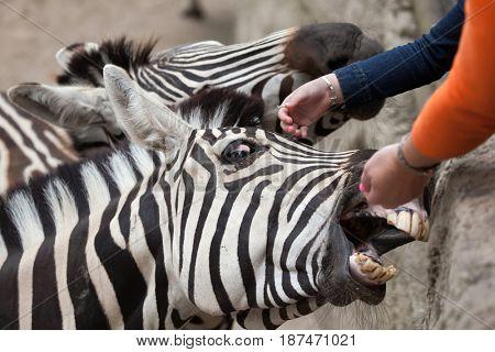 LES MATHES, FRANCE - JULY 4, 2016: Visitors feeding Chapman's zebras (Equus quagga chapmani) at La Palmyre Zoo (Zoo de La Palmyre) in Les Mathes, Charente-Maritime, France.