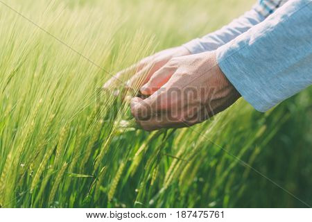Hands and green green wheat ears farmer working in the field