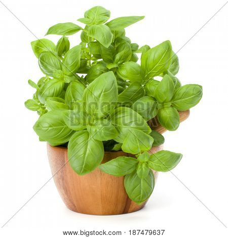 Sweet basil leaves in wooden mortar isolated on white background cutout.