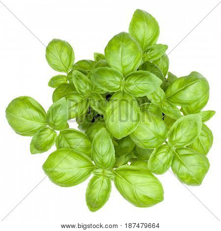 Sweet basil leaves isolated on white background cutout. Top view.