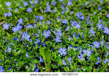 Carpet Of Blue Periwinkle Flowers In The Meadow Of Fresh Green Grass