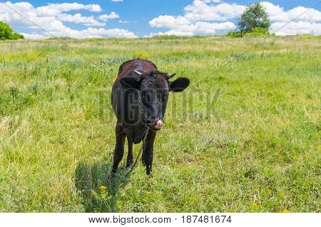 Cute black young bull-calf chained on a summer pasture in central Ukraine