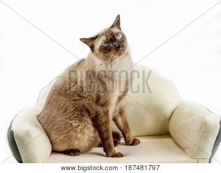 Siamese cat or seal brown cat with grey eyes resting on bed.