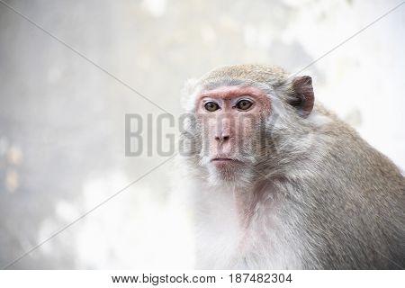 Closeup portrait of alone dreamy monkey on gray background