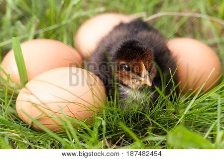 baby chicken with eggs in the green grass.