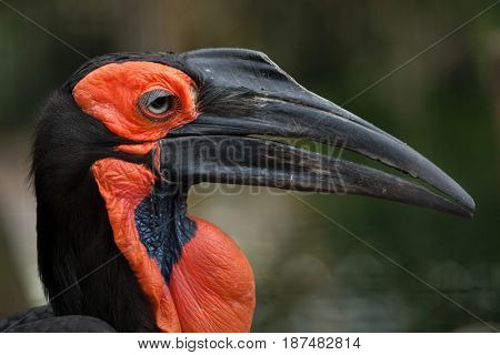 Southern ground hornbill (Bucorvus leadbeateri).