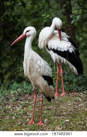 White stork (Ciconia ciconia). Wildlife animal.