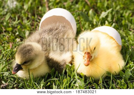 two little domestic gosling with broken egg in green grass.