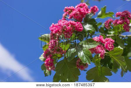 Pink hawthorn (crataegus) flowers on blue sky background